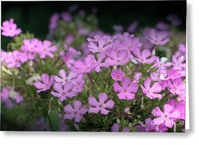 Summer Phlox Greeting Card by Jeannie Burleson