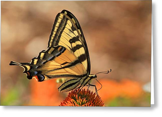 Swallowtail Butterflies Greeting Cards - Summer Portrait Greeting Card by Donna Kennedy