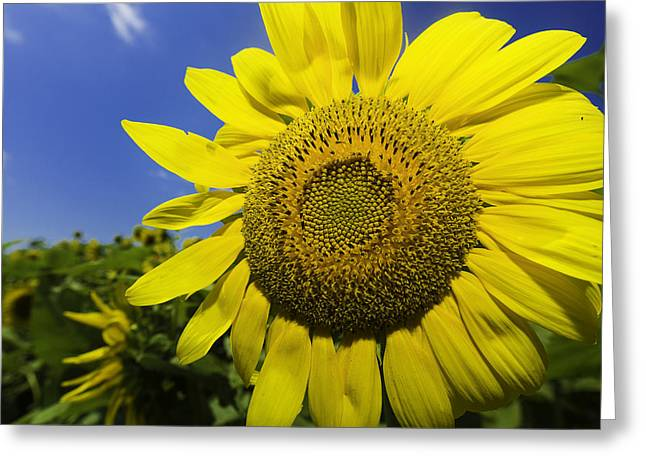 Buttonwood Farm Greeting Cards - Summer Sunflowers Greeting Card by Billy Bateman