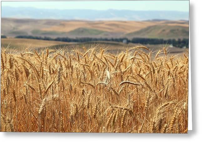 Prescott Greeting Cards - Summer wheat 2 Greeting Card by Lynn Hopwood