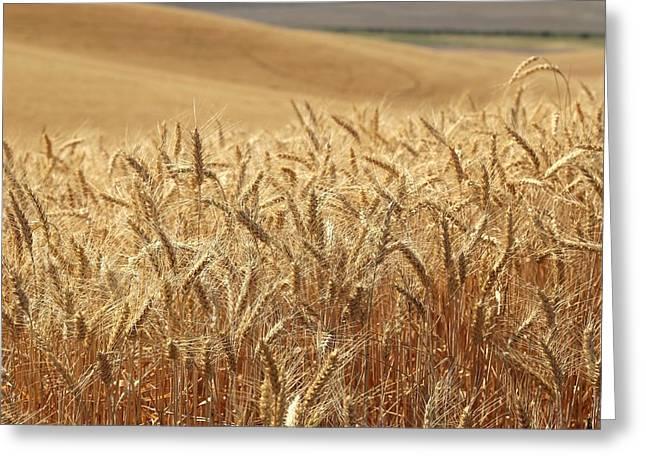 Prescott Greeting Cards - Summer wheat Greeting Card by Lynn Hopwood