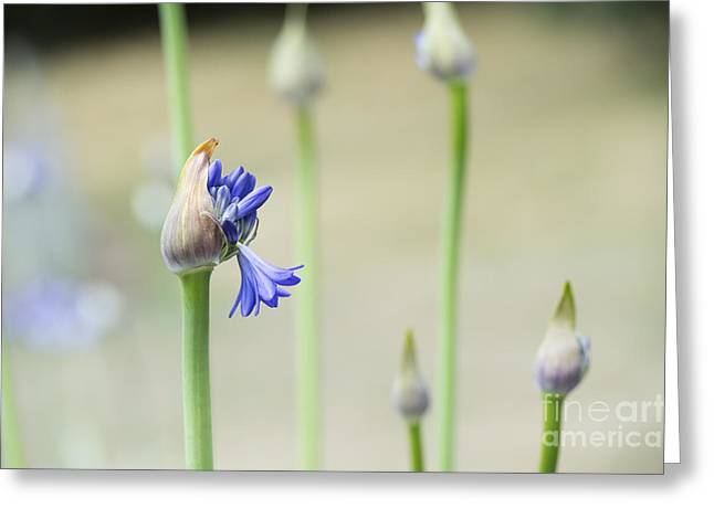 Flowerhead Greeting Cards - Summertime Blues   Greeting Card by Tim Gainey
