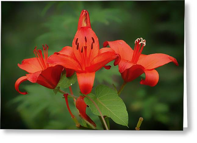Crimson Lilies Greeting Cards - Summertime Lily Greeting Card by Skeeze
