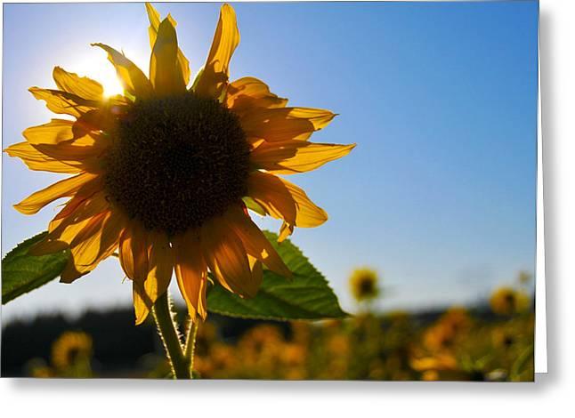 Brian Bonham Greeting Cards - Sun and Sunflower Greeting Card by Brian Bonham