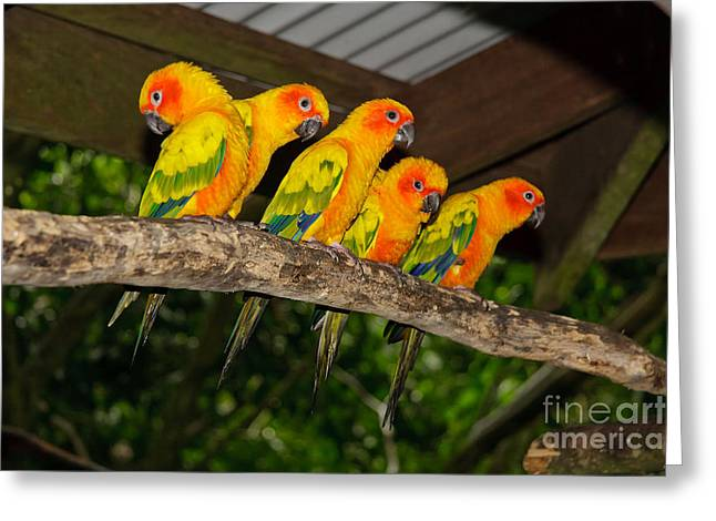 Greeting Cards - Sun Conures on a branch in a row Greeting Card by Wendy Townrow