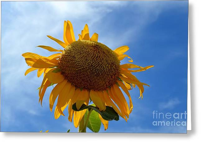 The Imperfect Sun Flower In The Blue Sky Greeting Card by Sontia Hall
