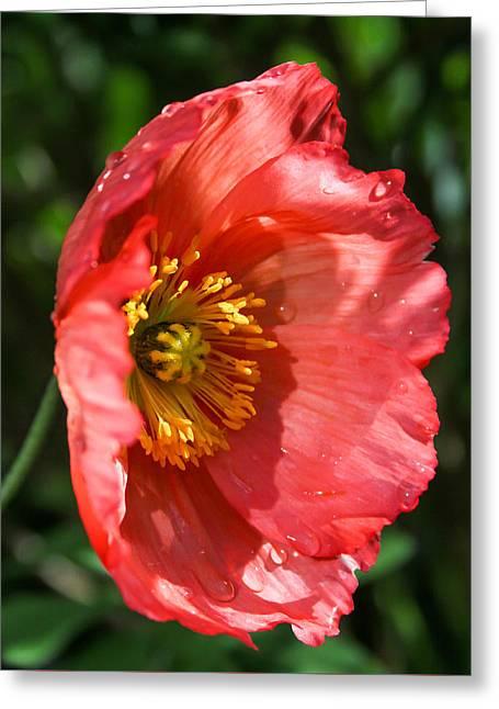 Raining Greeting Cards - Sun Lit Poppy 1 Greeting Card by Mo Barton