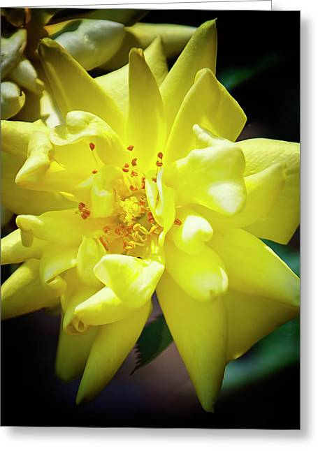 Sunburst Floral Still Life Greeting Cards - Sun Rose Greeting Card by Michael Putnam