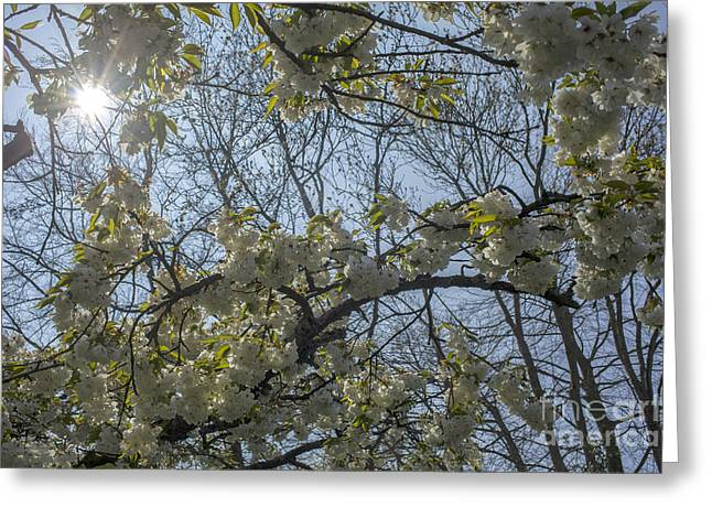 Flowering Branch Greeting Cards - Sun shining through Greeting Card by Patricia Hofmeester