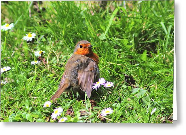 Zoology Greeting Cards - Sunbathing Robin Greeting Card by Rumyana Whitcher
