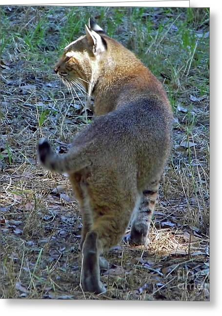 Bobcats Greeting Cards - Sunbeam Bobcat Greeting Card by D Hackett
