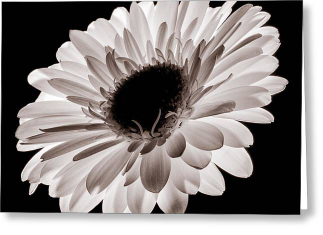 Flower Still Life Greeting Cards - Sunburst Greeting Card by Dave Bowman