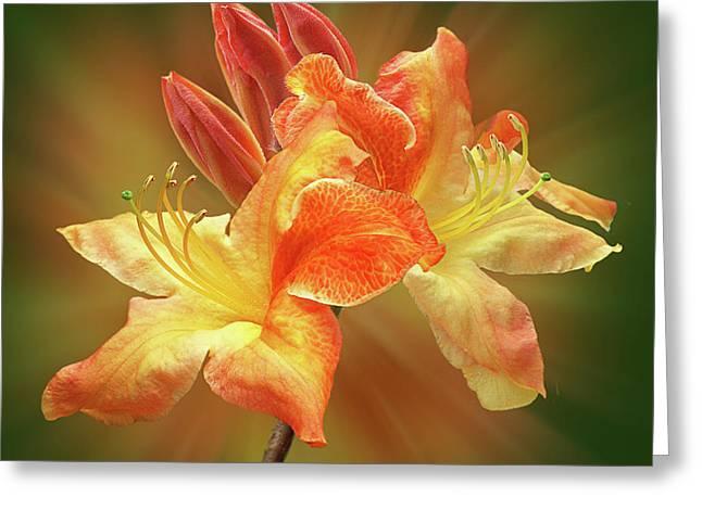 Sunburst Orange Azalea Greeting Card by Gill Billington