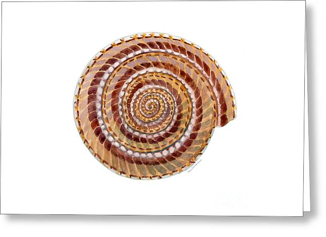Sundial Shell Greeting Card by Amy Kirkpatrick