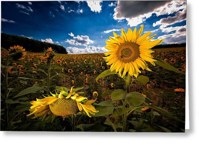Maine Farms Greeting Cards - Sunflower 2  Greeting Card by Emmanuel Panagiotakis