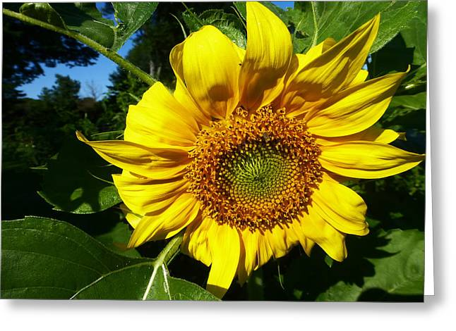 Sunflower 2015 13 Greeting Card by Tina M Wenger