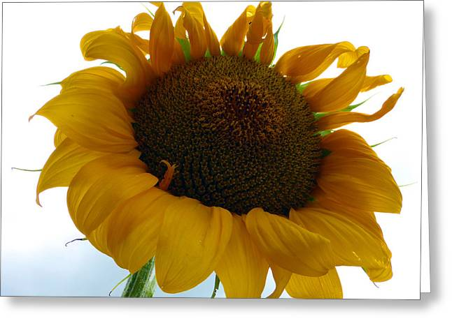 Indiana Flowers Greeting Cards - Sunflower 2015 4 Greeting Card by Tina M Wenger