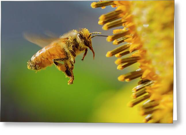Sunflower And Bee Greeting Card by Mircea Costina Photography