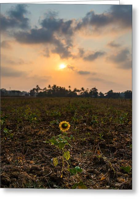 Sunset Prints Greeting Cards - Sunflower at Sunset Greeting Card by Elton Pinto