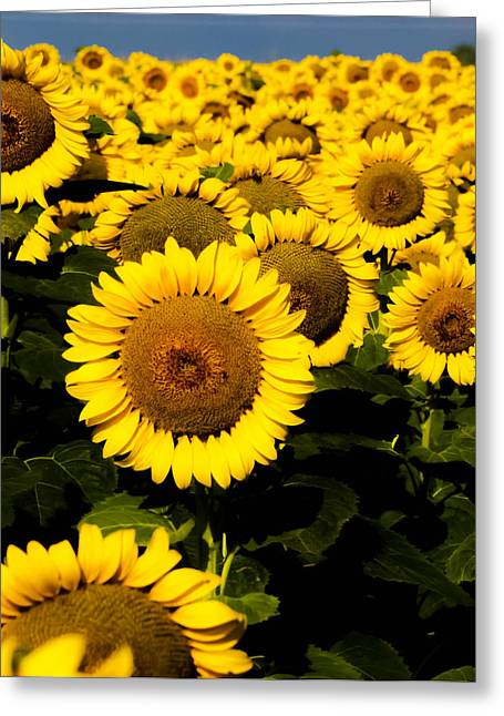 Recently Sold -  - Yellow Sunflower Greeting Cards - Sunflower Greeting Card by Charles Rockwell