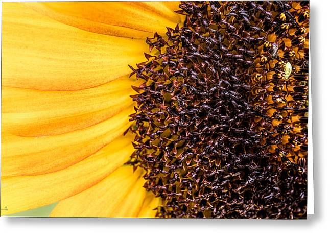 Micro Greeting Cards - Sunflower Closeup Greeting Card by Bob Orsillo