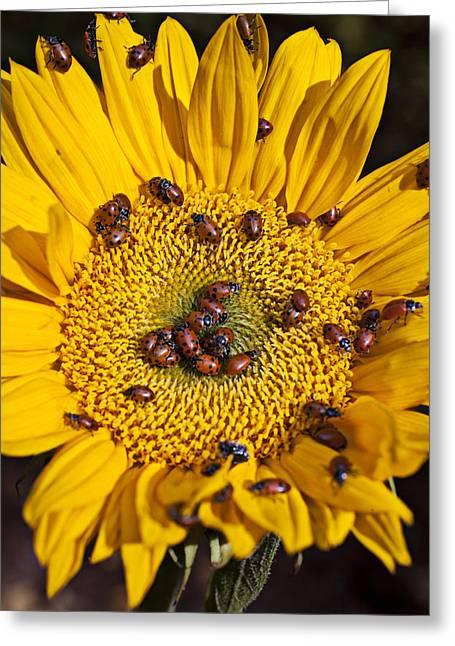 Crawl Greeting Cards - Sunflower covered in ladybugs Greeting Card by Garry Gay