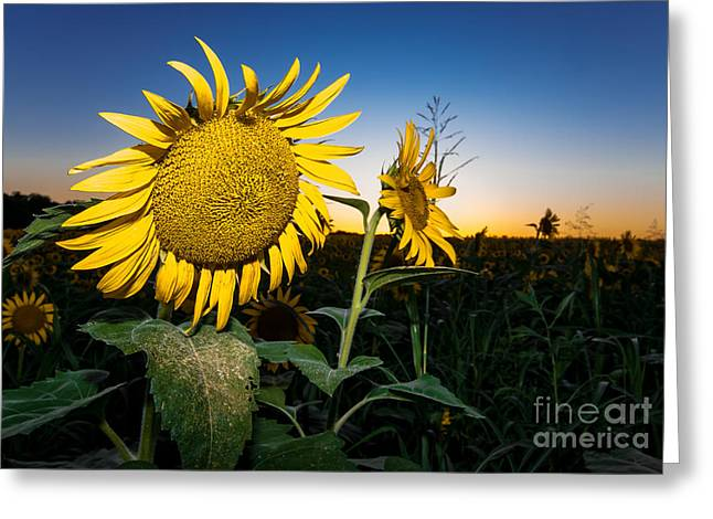 Shower Curtain Photographs Greeting Cards - Sunflower Evening Greeting Card by Robert Frederick