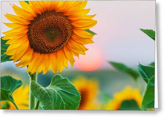 Bulgaria Photographs Greeting Cards - Sunflower Greeting Card by Evgeni Dinev