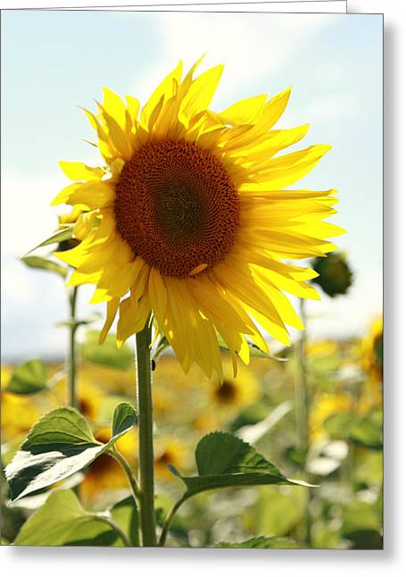 Blume Greeting Cards - Sunflower Greeting Card by Falko Follert