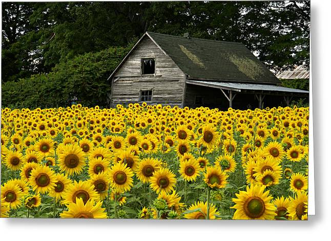 Sunflower Field And Barn Greeting Card by Tom  Wray