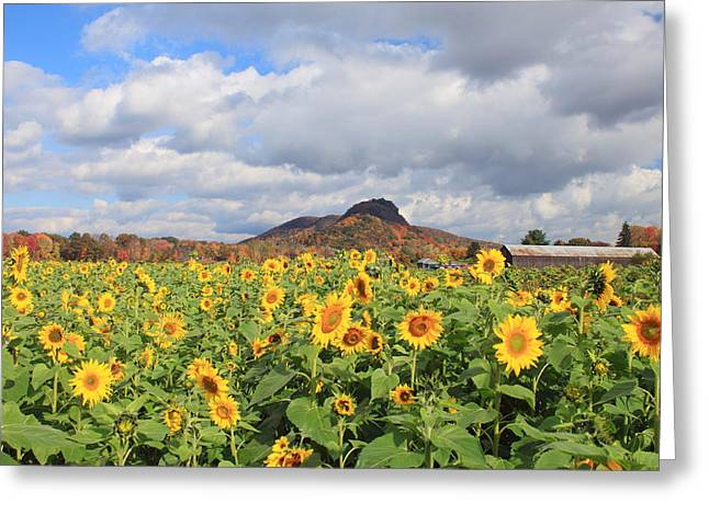Franklin Farm Greeting Cards - Sunflower Field and Mount Sugarloaf Greeting Card by John Burk
