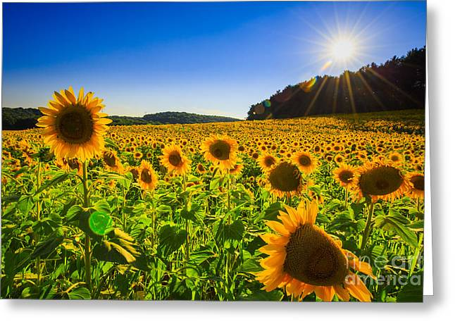 Maine Farms Greeting Cards - Sunflower field sunset 2  Greeting Card by Emmanuel Panagiotakis