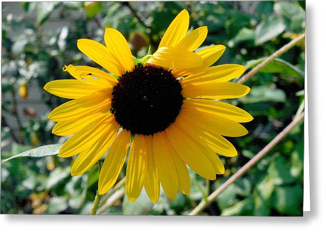 Scene Greeting Cards - Sunflower flower close-up Greeting Card by Lanjee Chee