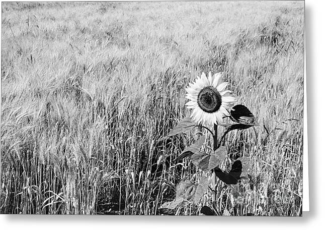 Sunflower In A Field Of Wheat Greeting Card by Luigi Morbidelli