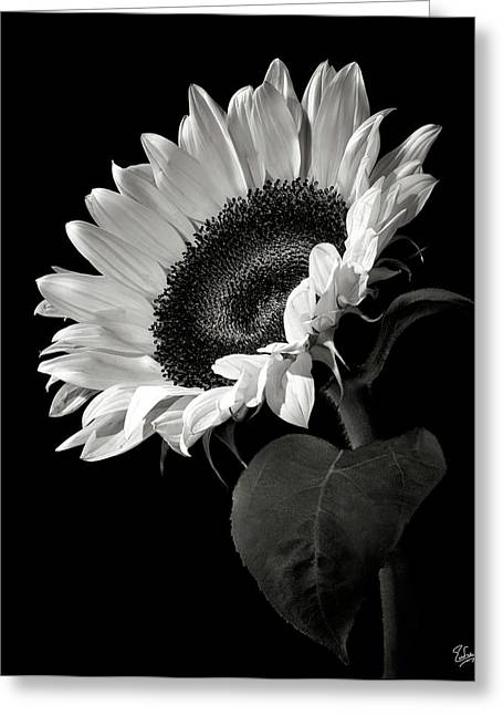 Greeting Cards - Sunflower in Black and White Greeting Card by Endre Balogh