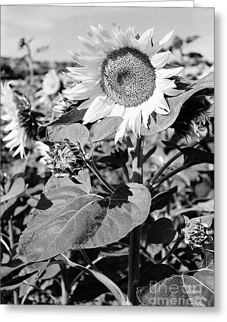Sunflower In Black And White Greeting Card by Luigi Morbidelli