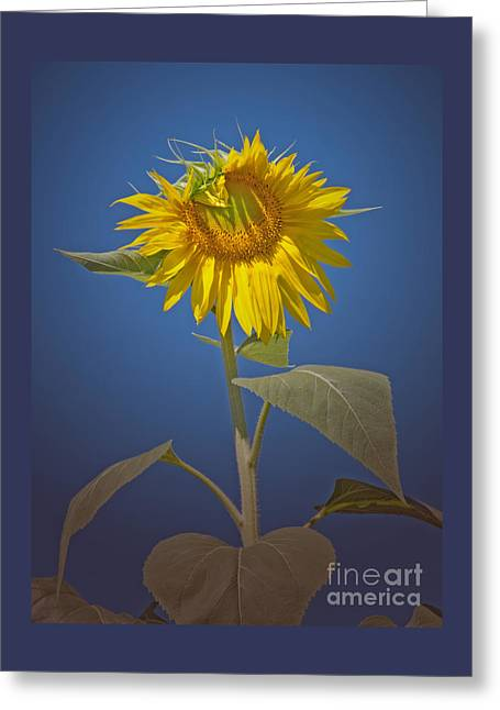 Greeting Cards - Sunflower in Spotlight Greeting Card by Ann Horn