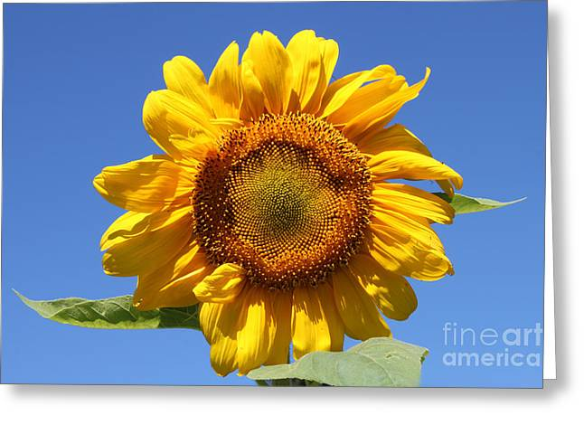 Sunflower In Sunshine  Greeting Card by Cathy  Beharriell