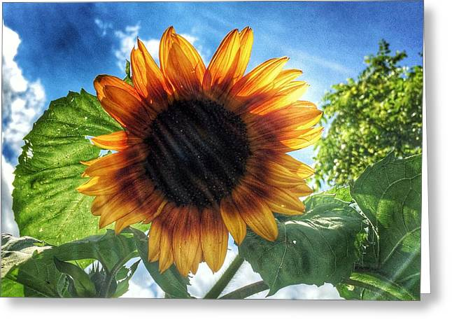 Jame Hayes Greeting Cards - Sunflower Greeting Card by Jame Hayes