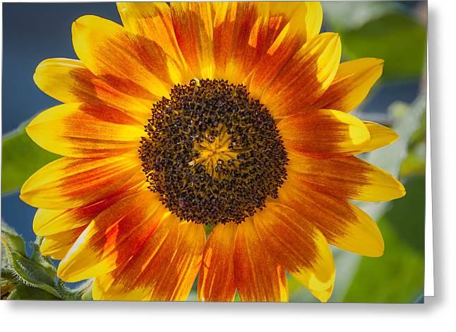 Sunflower Greeting Card by Joseph Smith
