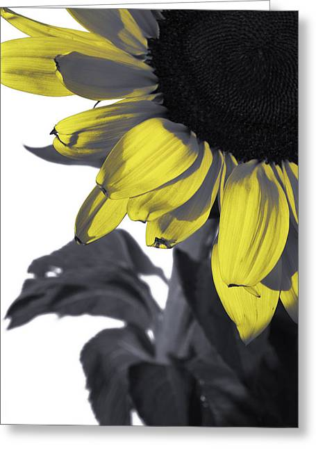 Yellow Sunflower Greeting Cards - Sunflower Greeting Card by Kelly Jade King