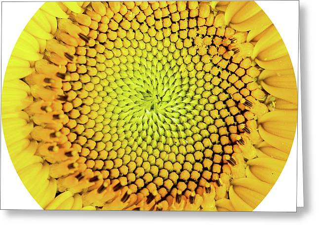 Sunflower Large Round Beach Towel Design Greeting Card by Edward Fielding
