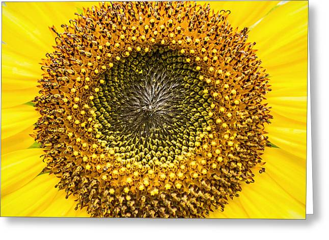 Yellow Sunflower Greeting Cards - Sunflower Macro Greeting Card by Don Johnson