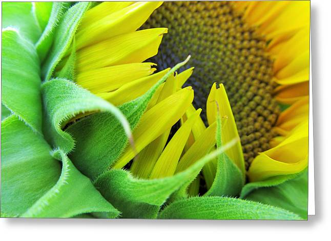 Sunflower Greeting Card by Marianna Mills