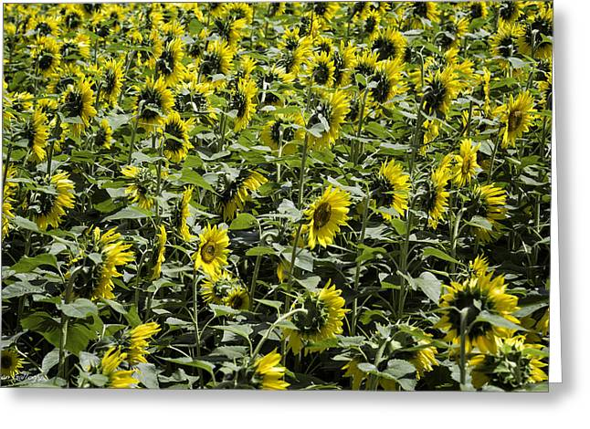 Sunflower Patterns Greeting Card by Fran Gallogly