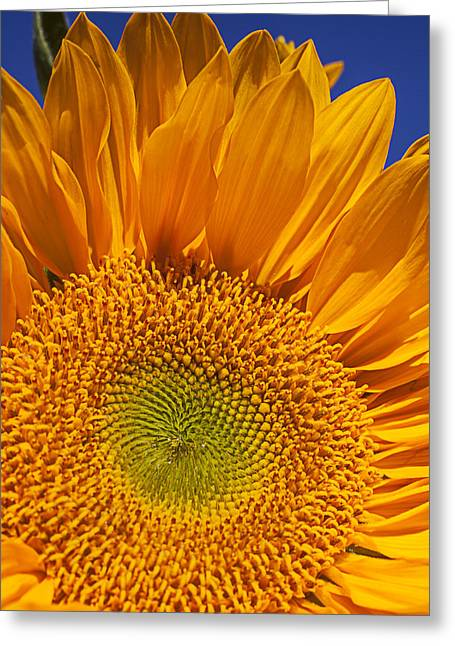 Close Up Floral Greeting Cards - Sunflower petals Greeting Card by Garry Gay