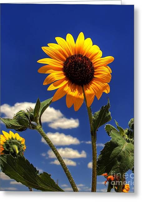 Landscape Photography Greeting Cards - Sunflower Greeting Card by Pete Hellmann