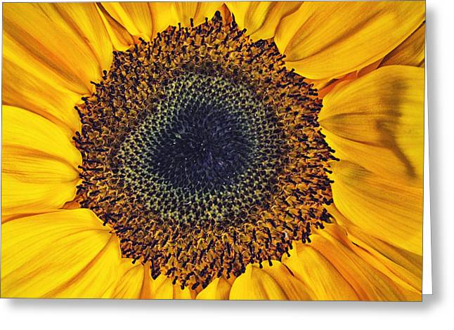 Flower Design Greeting Cards - Sunflower portrait Greeting Card by SK Pfphotography