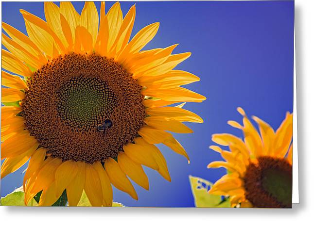 Sunflower Radiance Greeting Card by Rick Berk