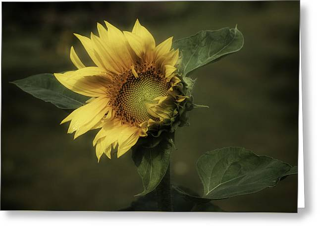 Enhanced Greeting Cards - Sunflower Romantica Greeting Card by Richard Cummings
